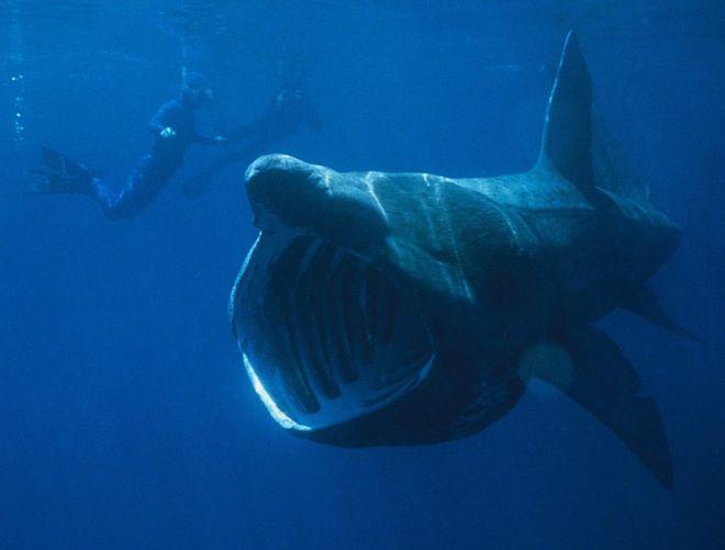 Гигантская акула