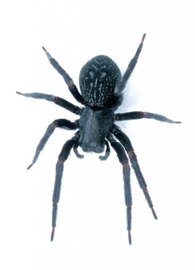 Черный домовой паук
