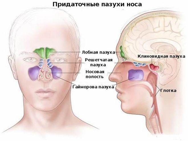 Придаточные пазухи носа шпаргалка