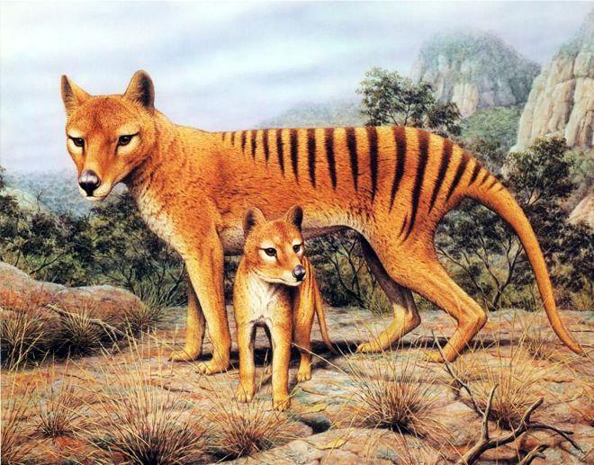 секрет вымирания тасманийских волков