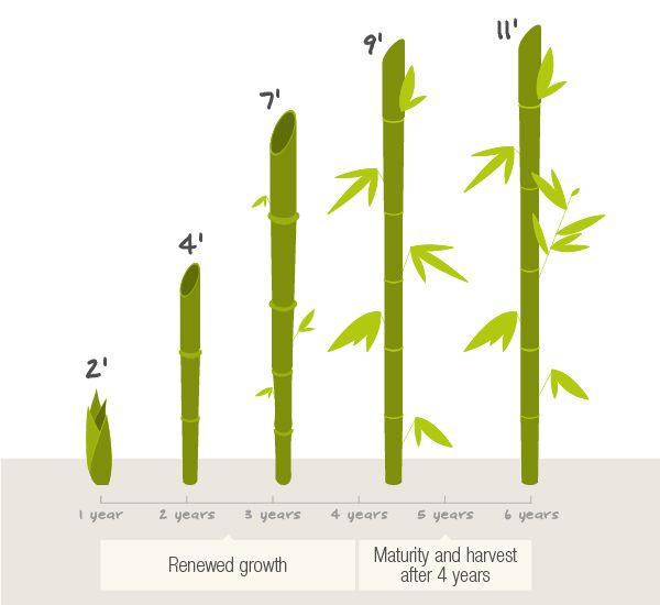 Как быстро растет бамбук