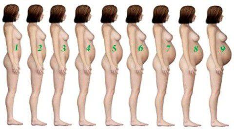 Откуда начинает расти живот при беременности