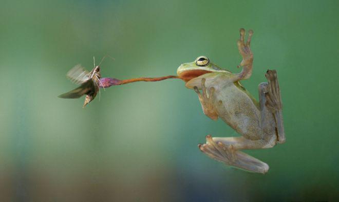 язык лягушки