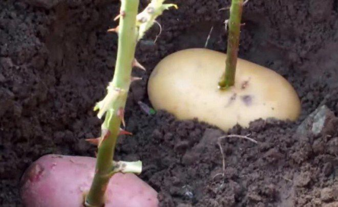 выращивание черенков роз в картофеле