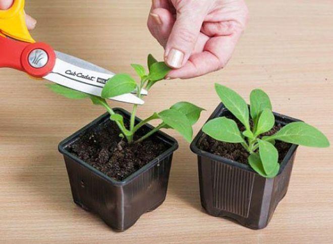 Петунья уход и выращивание из семян