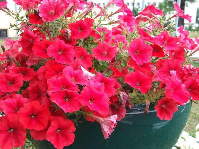 Петунья цветы уход в 100