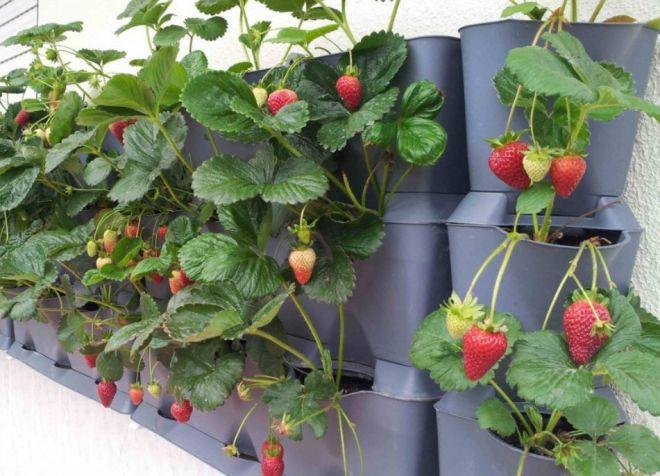 Способы выращивания клубники круглый год 16