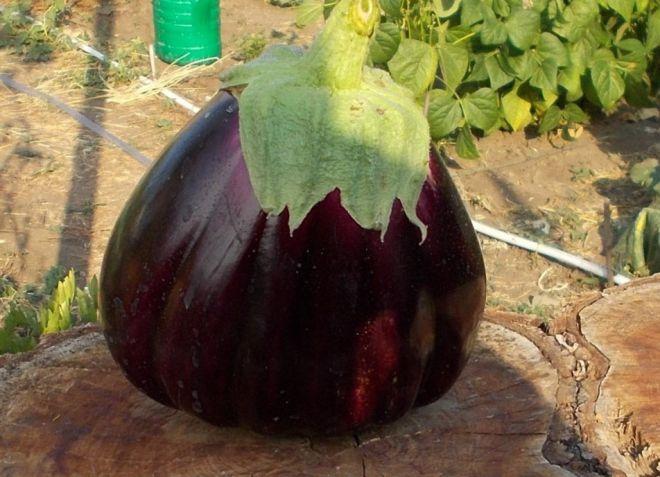 Выращивание баклажан