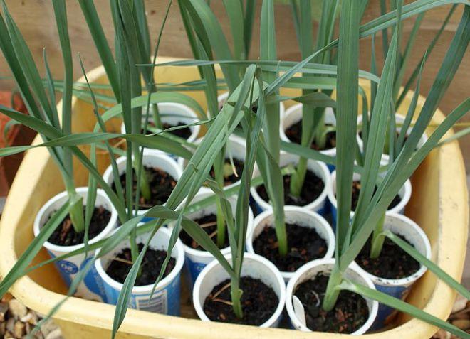 Как выращивать лук порей
