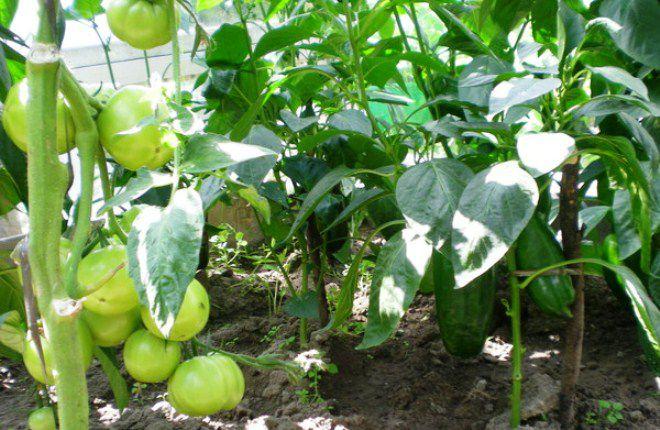Посадка помидор