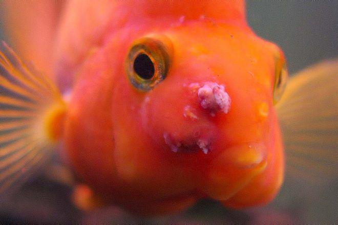 болезни рыб попугаев