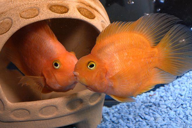 разведение рыб попугаев