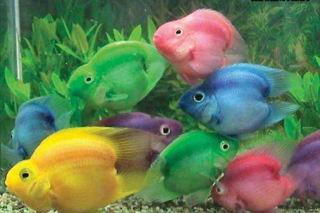 окрас рыб попугаев