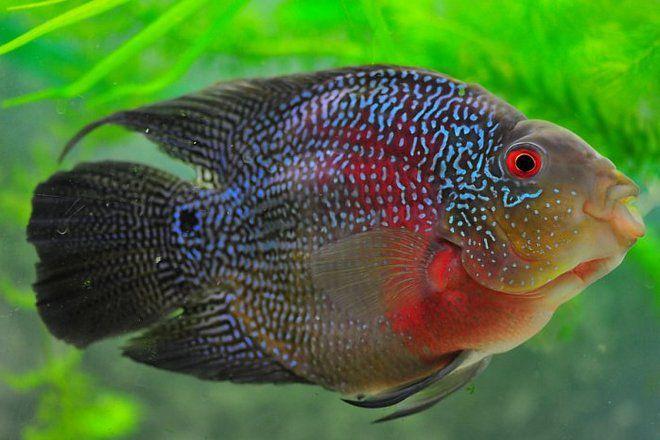 аквариумная рыба попугай мраморная