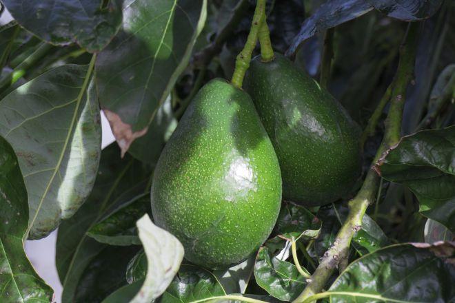 Авокадо з кісточки в домашніх умовах