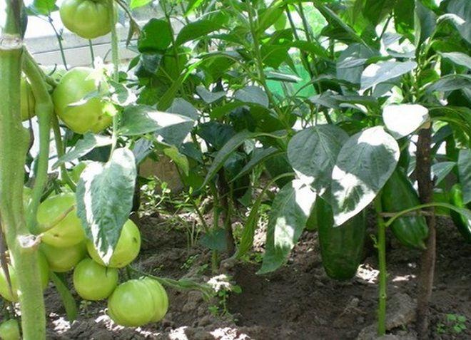 Можно ли перец сажать вместе с помидорами в