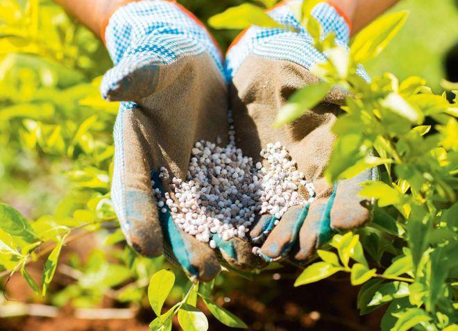 Голубика садовая выращивание и уход