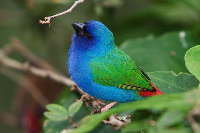попугайные амадины