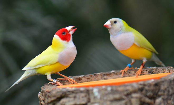 птички амадины виды