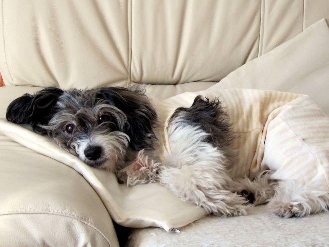 Чума собак симптомы лечение