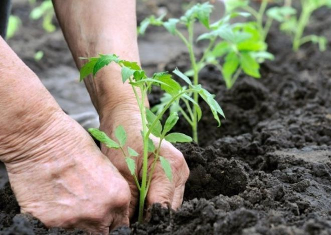 Выращивание и уход за помидорами в теплице