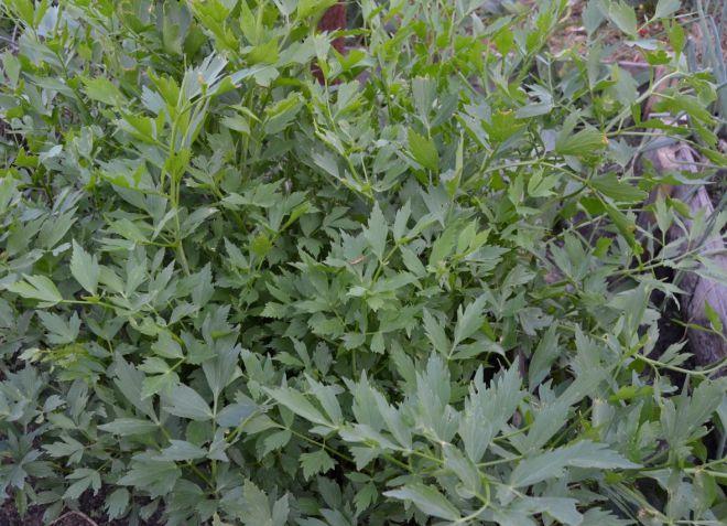 Любисток - выращивание и уход из семян в открытом грунте