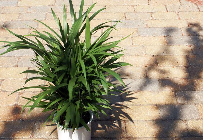 хризалидокарпус выращивание в домашних условиях