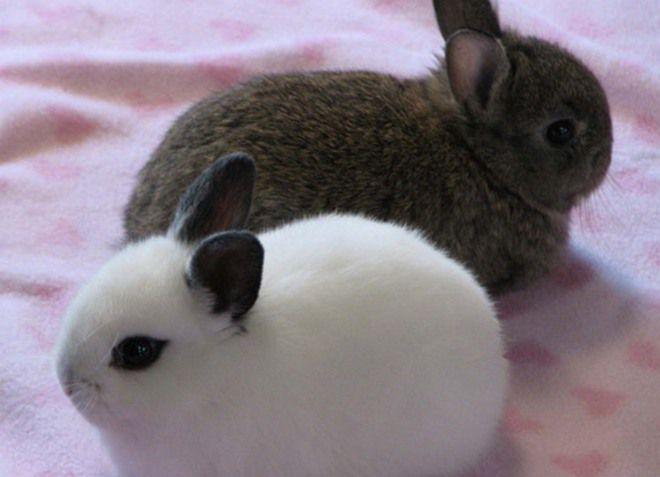карливовые короткошерстные декоративные кролики