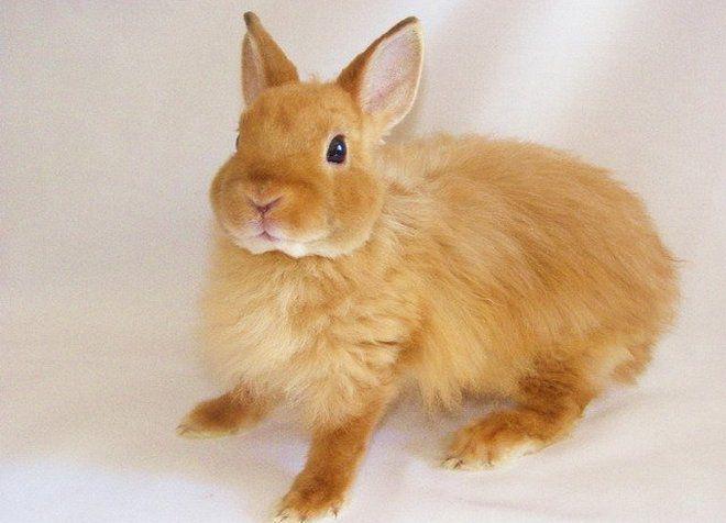 лисий декоративный кролик