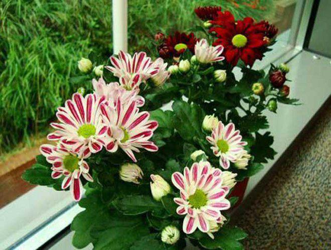 Выращивание хризантем дома в горшке 57