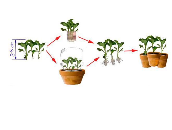 Хризантема комнатная уход в домашних условиях