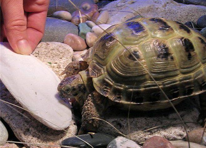 витамины для сухопутных черепах