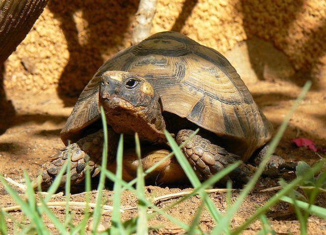 сухопутная средиземноморская черепаха