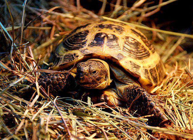 сухопутная среднеазиатская черепаха
