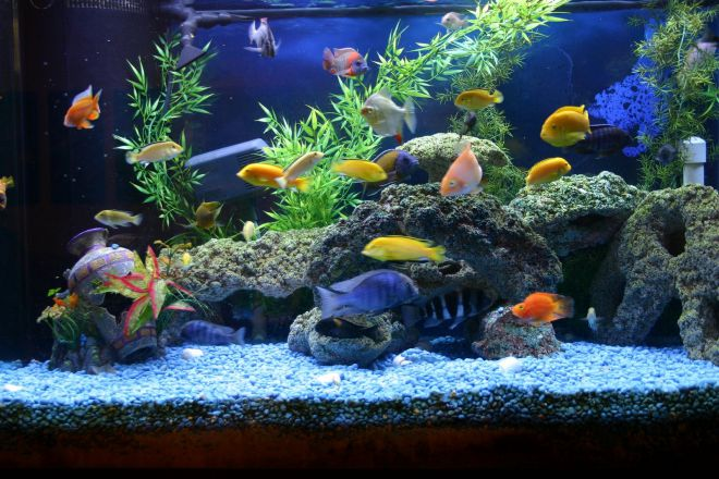 запуск аквариума с цихлидами