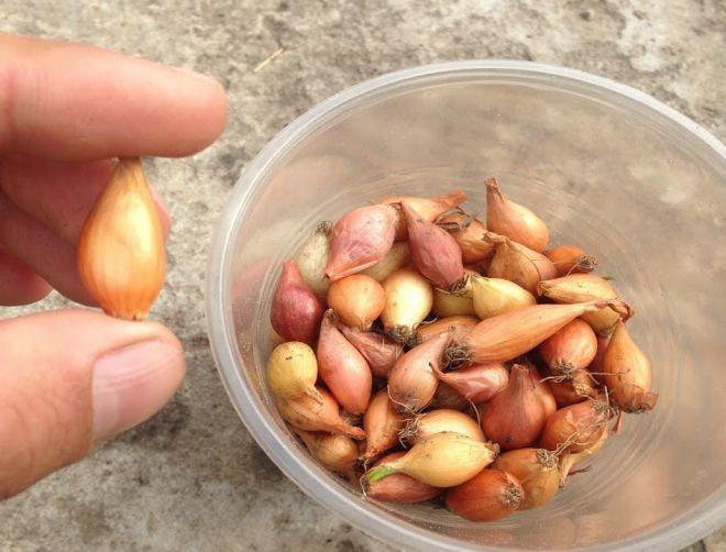 как определить что лук севок созрел