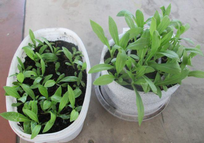 в какую емкость сеять огурцы на рассаду