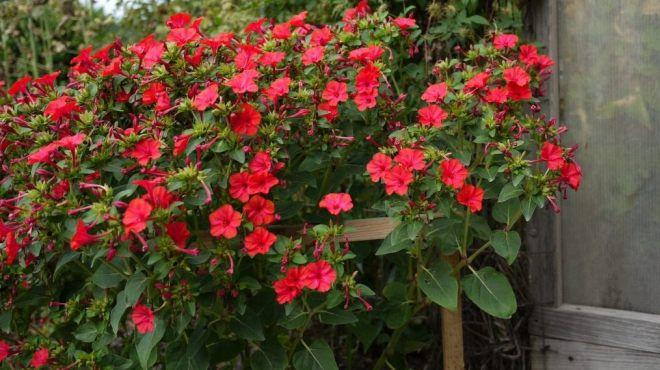 Цветы мирабилис