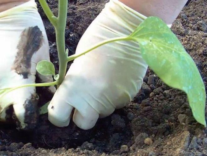 Посадка и выращивание баклажанов в теплице 92