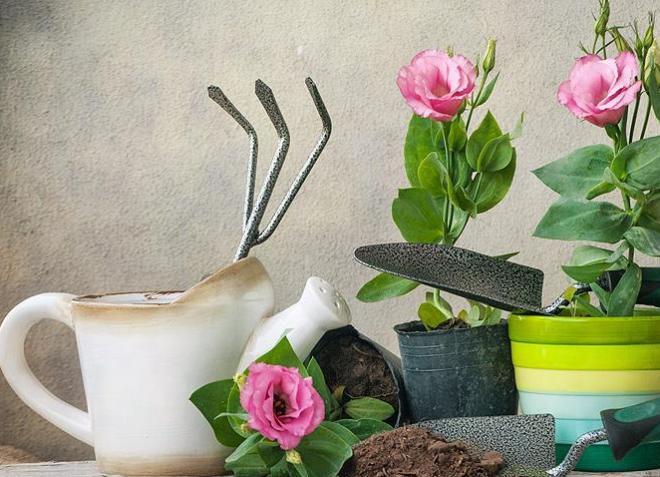 Еустома з насіння в домашніх умовах