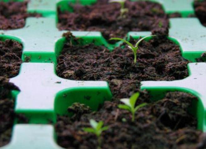 еустома вирощування