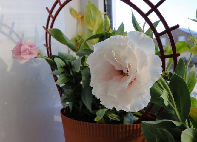 Еустома кімнатна вирощування і догляд