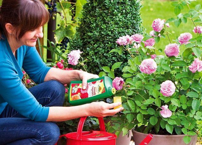 Подкормка роз в период бутонизации