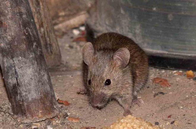 rat dans une maison perfect rat dans une maison with rat dans une maison souris dans votre. Black Bedroom Furniture Sets. Home Design Ideas