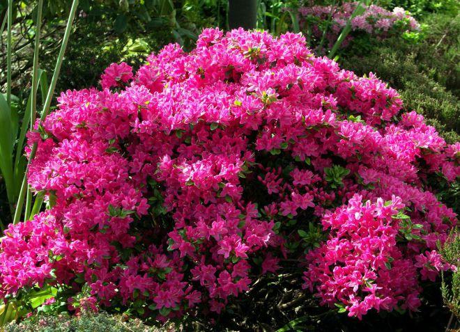 Садовая азалия - уход и выращивание в саду