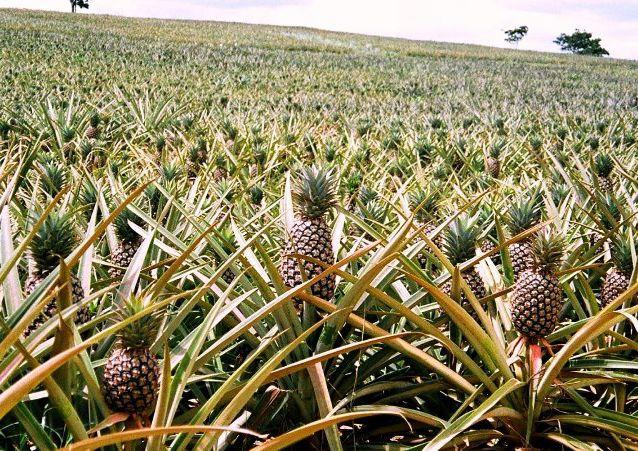 Вырастит или нет ананас в домашних условиях 94