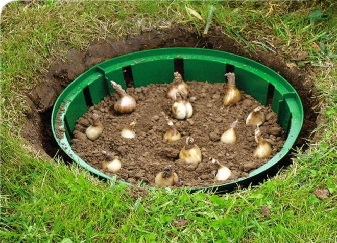 Выращивание крокусов в открытом грунте