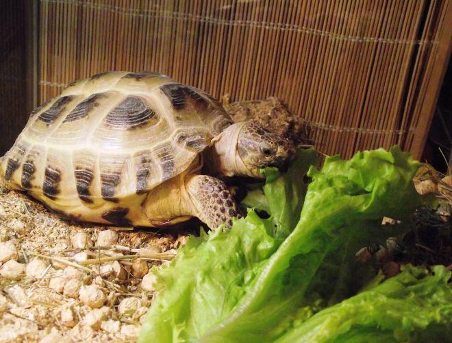 сколько может не есть черепаха