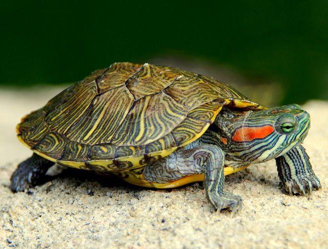 почему не ест красноухая черепаха