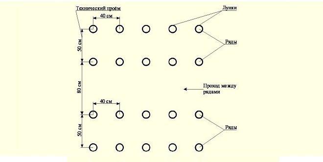 Посадка огурцов в открытый грунт